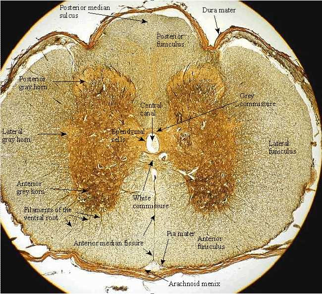 Spinal Cord Cross Section Slide Labeled