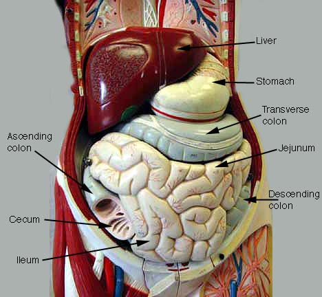 Index of /anatomy/images/Digestive