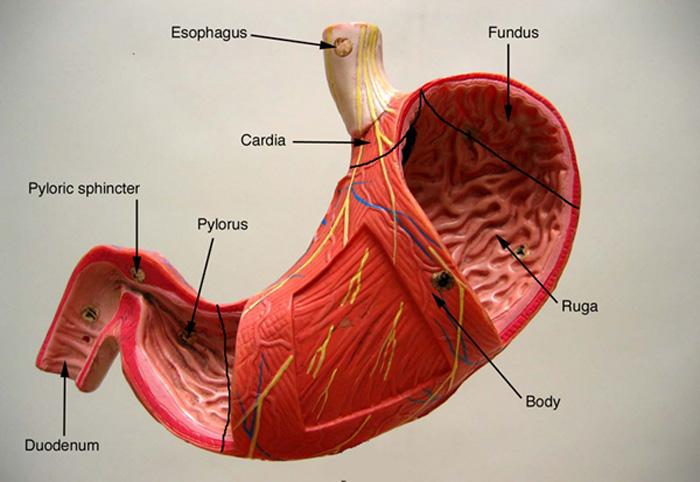 Stomach Anatomy Fundus Choice Image - human body anatomy