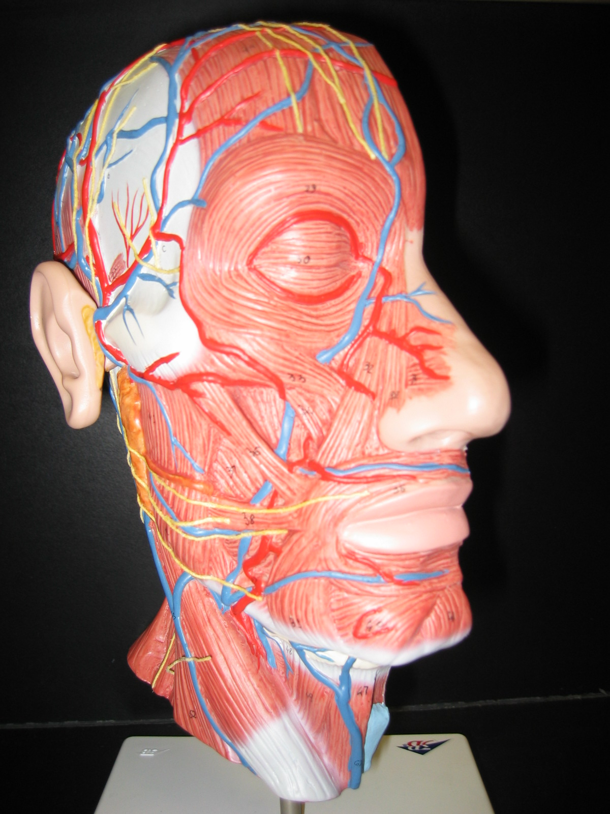 Index of /anatomy/images/Head3B