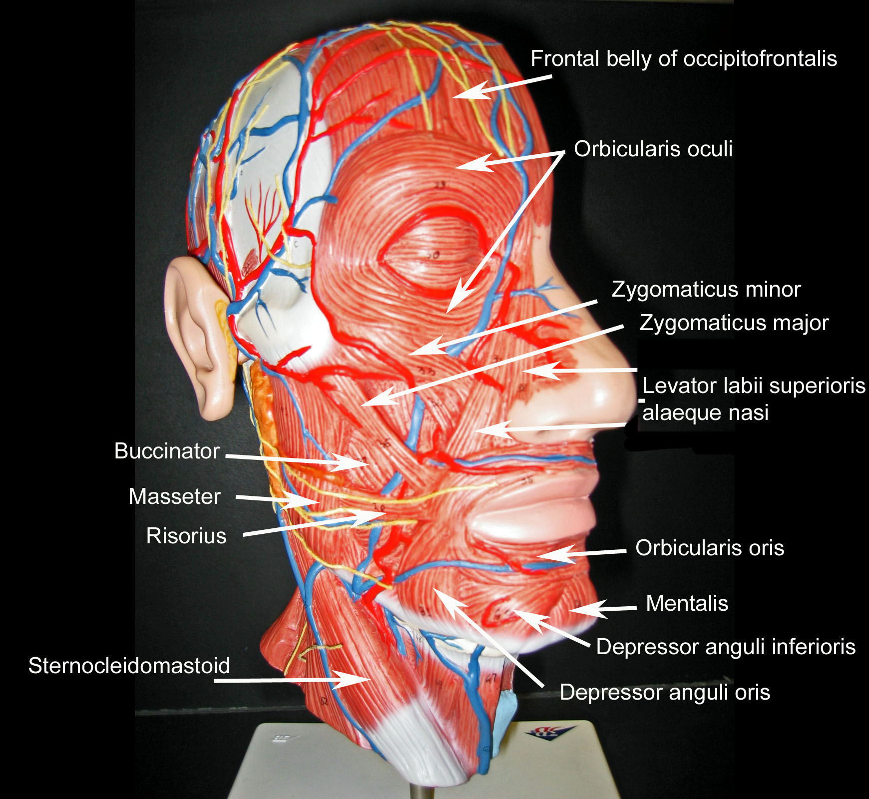 Blank Muscle Diagram Head
