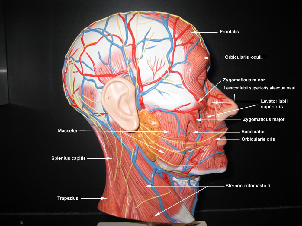Head And Neck Muscles Model Head Muscle Models Anatomy
