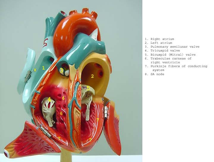 Index of /anatomy/images/Heart_label