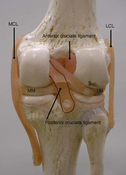 Knee joint ccuart Image collections