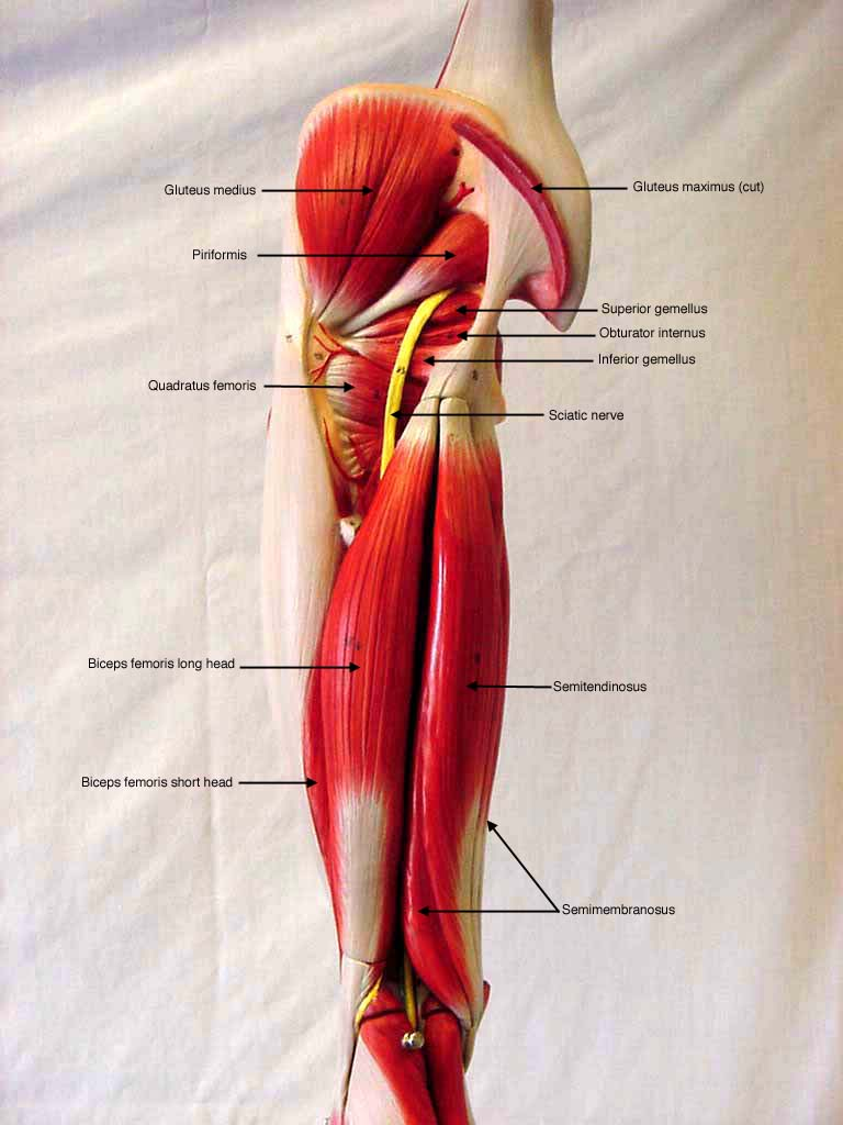 Lower Extremity  Posterior