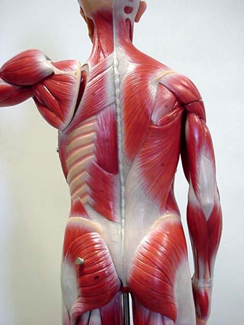 Male Muscle Model