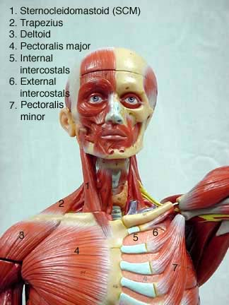 Survey of Anatomy and Physiology Chapter 6  Labeled Neck Movements