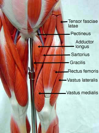 male muscle model,