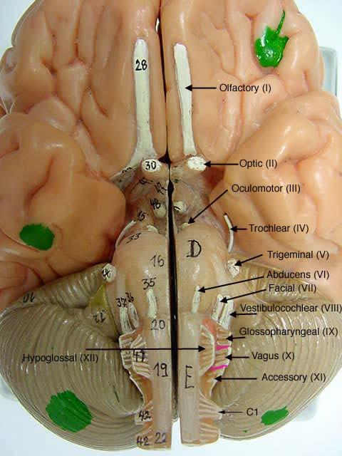 Brain Model -  Somso Labeled Inside Brain Model