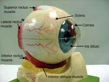 Eye models eyeg ccuart Image collections