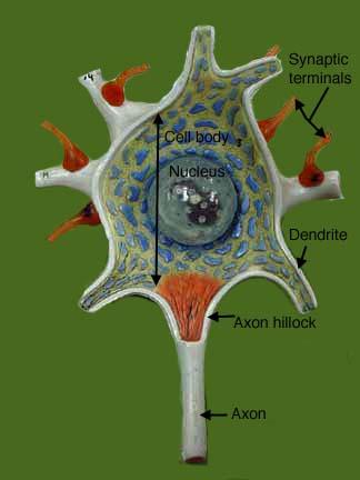 Neuron Cell Model