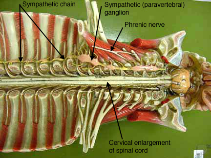 Spinal cord anatomy model