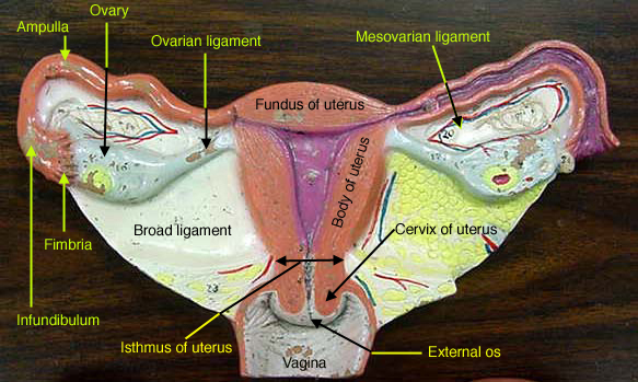 Female Reproductive ModelsFemale Reproductive System Model