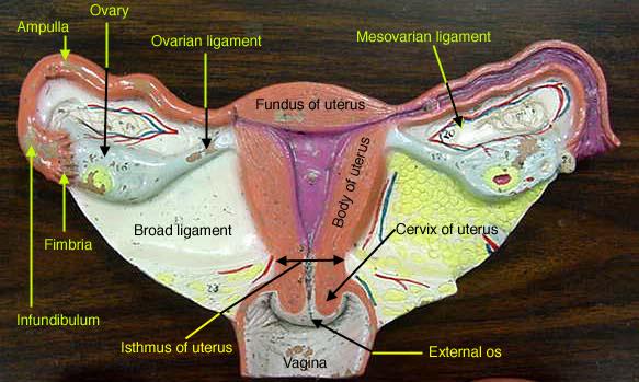 36 uterine model labeled