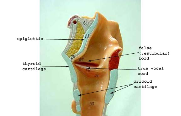 LARYNX AND TRACHEA