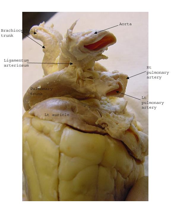 anatomy class sheep heart