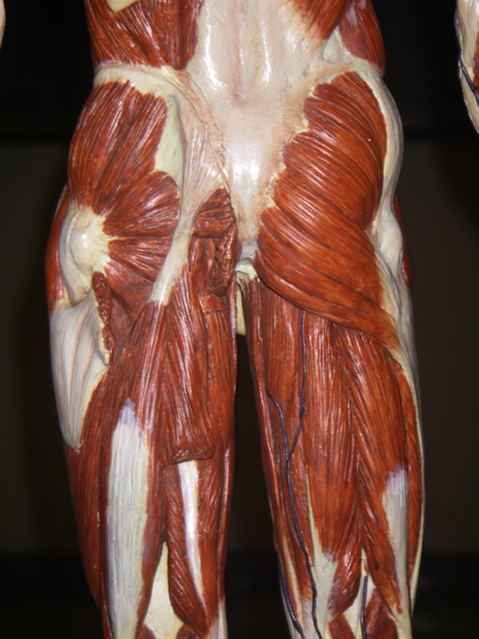 Index of /anatomy/images/Small_muscle_figure