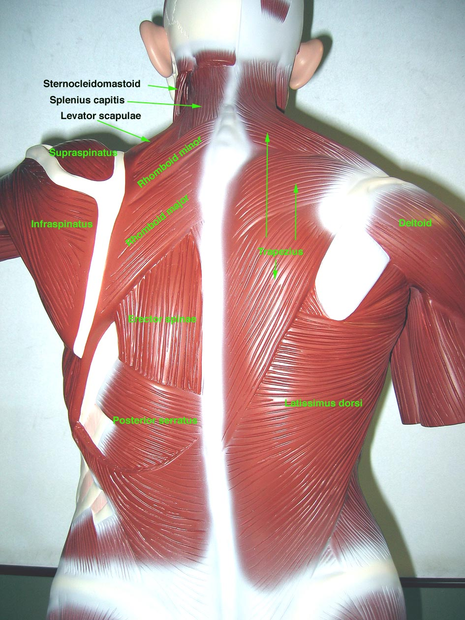 Enchanting Muscle Anatomy Models Vignette Human Anatomy Images