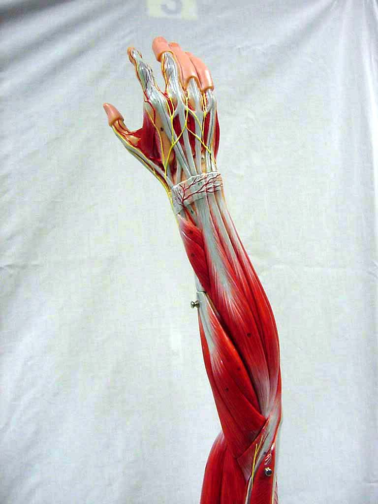 Index of /anatomy/images/Upper_extremity