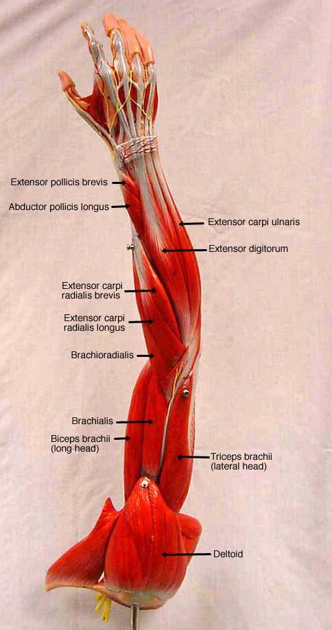 posterior shoulder & brachium  label � label � label