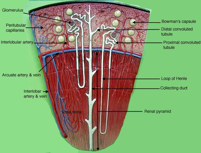 Urinary System Anatomy Model Urinary System