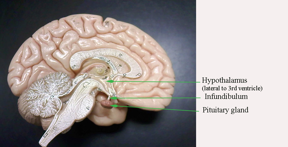 Anatomy Brain Model Images - human body anatomy