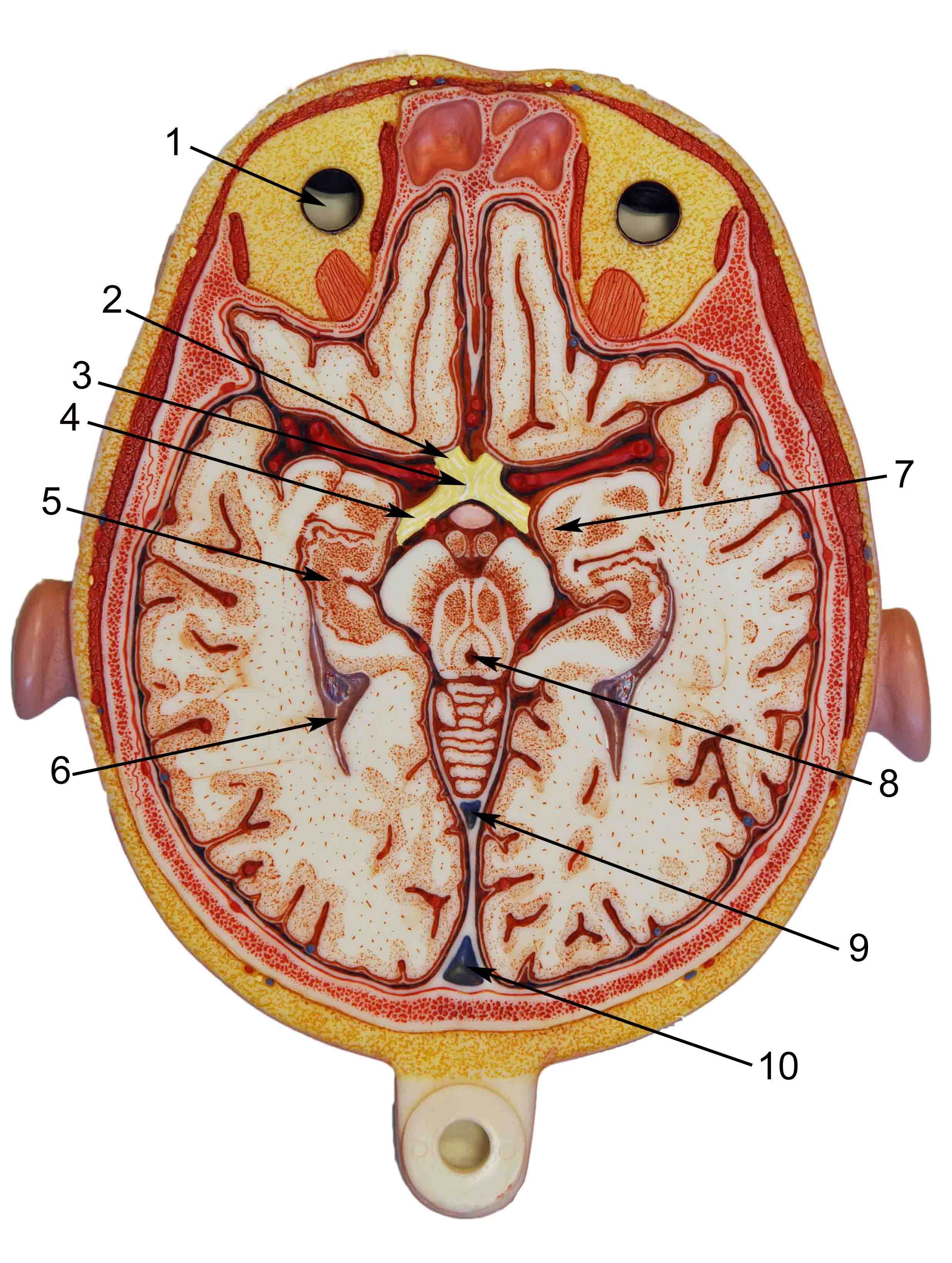 Index of /anatomy/images/brain
